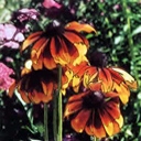 Orange Coneflowers - Large Poster Print
