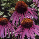 Bold Echinacea - Large Poster Print